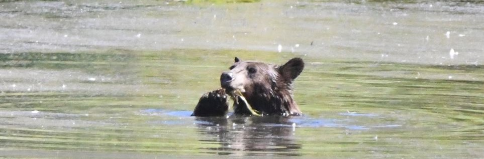 Photo of a bear in Jameson Lake