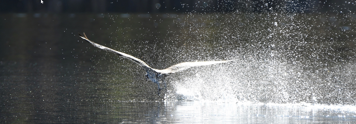 Photo of an Osprey touching down onto Jameson Lake causing a spray of water